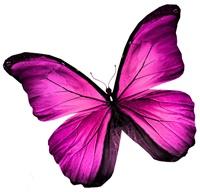 Schmetterling Magenta